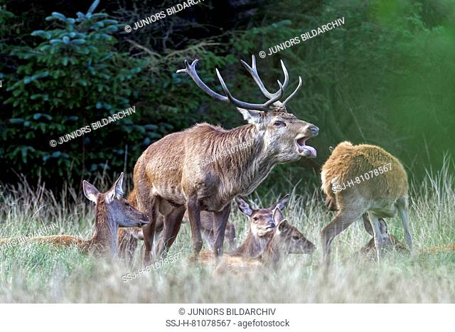 Red Deer (Cervus elaphus). Dominant stag belling amidst its harem. Denmark