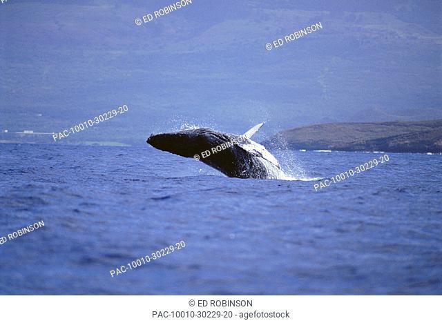 Hawaii, Maui, Humpback whale breaches offshore (Megaptera novaeangliae)