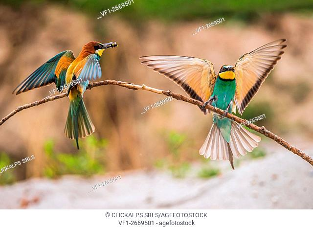 Bee-eater, Trentino Alto-Adige, Italy