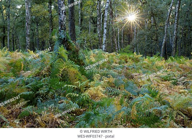 Germany, Bergkamen, Beversee nature reserve, fern in birch forest