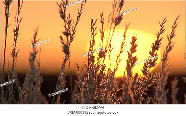 CU Sunrise through tall reeds / Kalahari Desert, South Africa