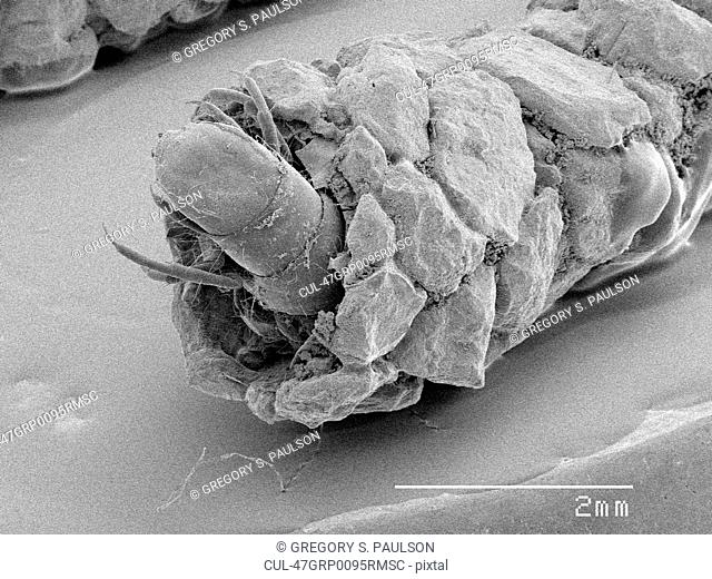 Magnified view of caddisfly in case