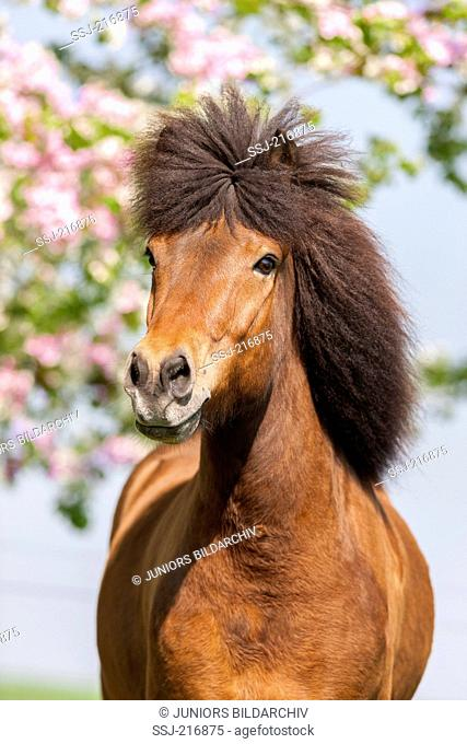 Icelandic Horse. Portrait of bay gelding in spring. Germany