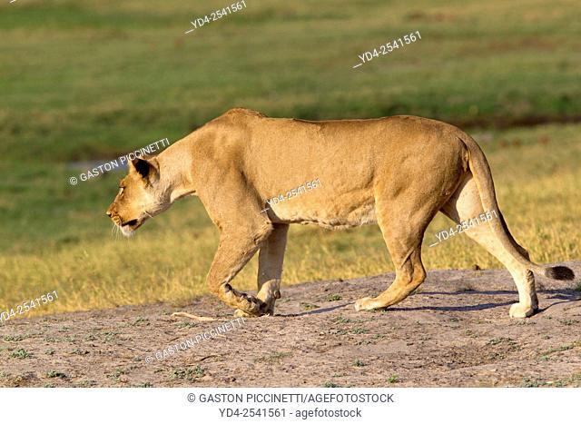 African lion (Panthera leo) - Female, Chobe National Park, Botswana