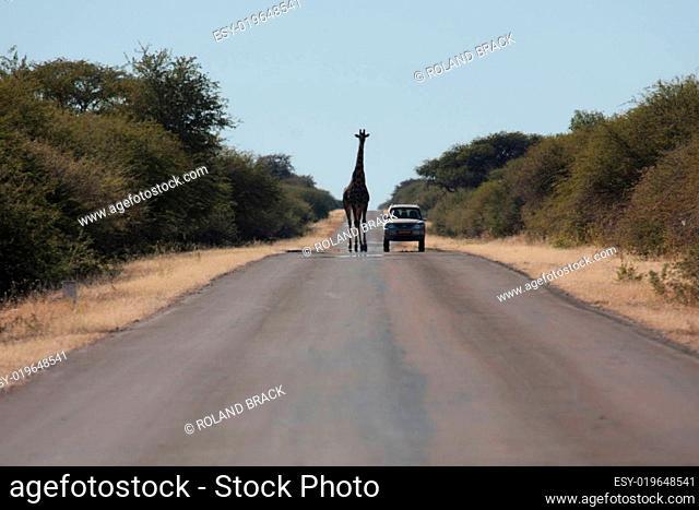 giraffe auf der strasse in namibia