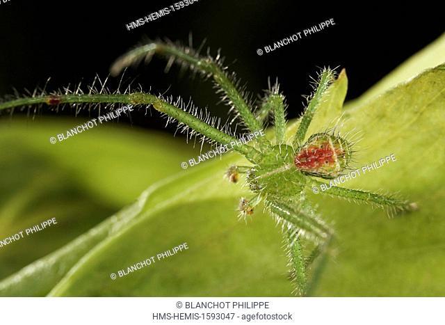France, Araneae, Thomisidae, Crab spider (Heriaeus hirtus), male