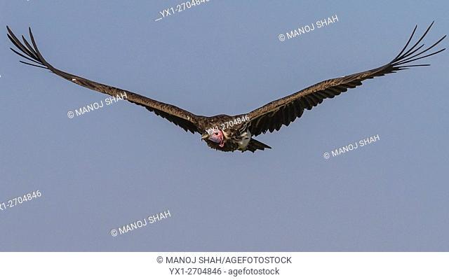 Nubian vulture in flight