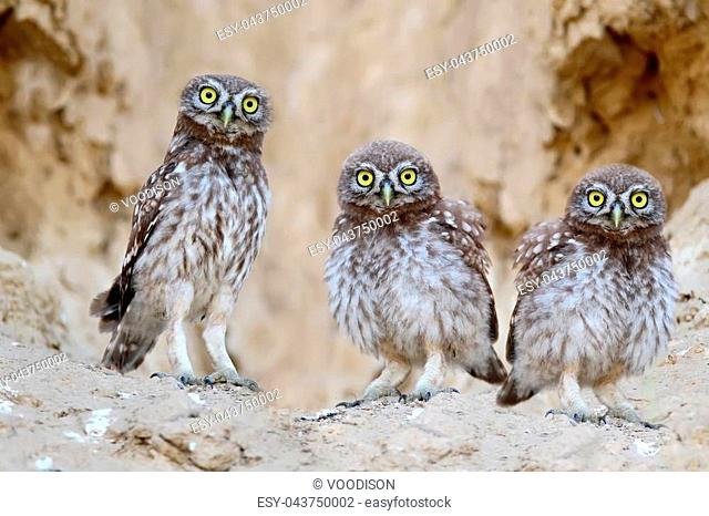 Three brothers near nest .Chicks of a little owl are photographed near their nest. Learn the world that is not known to them