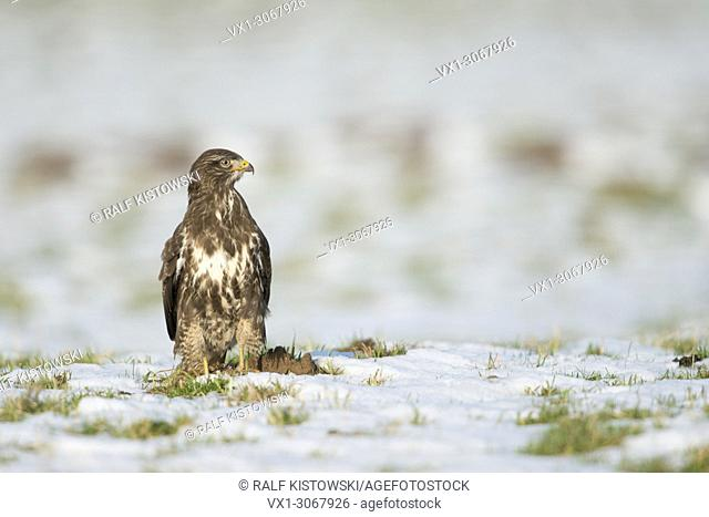 Common Buzzard / Buzzard ( Buteo buteo ) standing / hunting / looking around on a snow covered pasture, wildlife, Europe