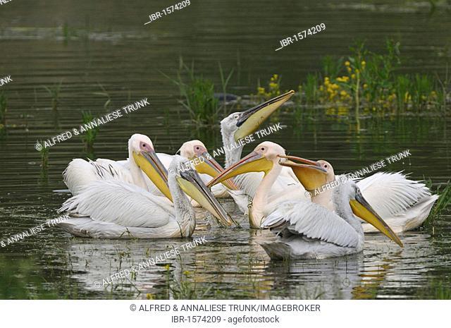 Eastern White Pelicans (Pelecanus onocrotalus) and Dalmatian Pelicans (Pelecanus crispus)
