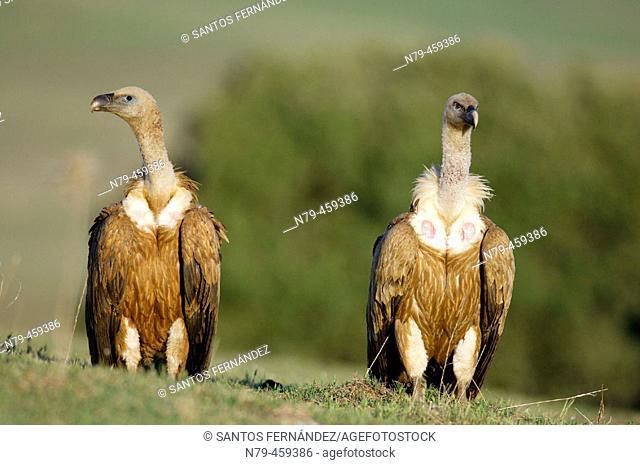 Griffon Vulture (Gyps fulvus). Valle de Alcudia, Ciudad Real, Spain