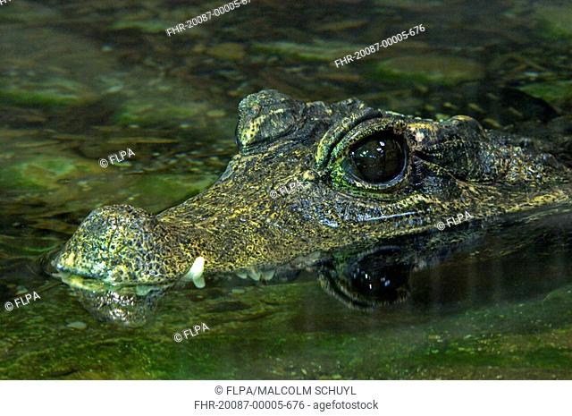 West African Dwarf Crocodile Osteolaemus tetraspis adult, close-up of head, in water, captive