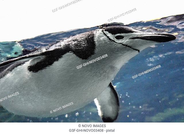 Chinstrap Penguin Underwater
