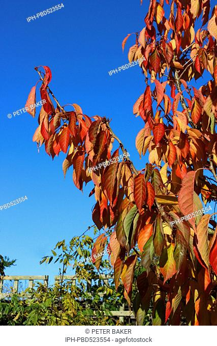 England Dorset Country garden Prunus Tai Haku (Great White Cherry) Autumn Foliage a rich gold in November sunshine