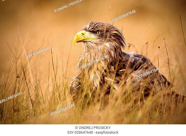 Portrait of White-tailed Eagle, Haliaeetus albicilla, sitting in