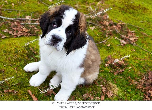 Saint Bernard dog. Gipuzkoa. Basque Country. Spain