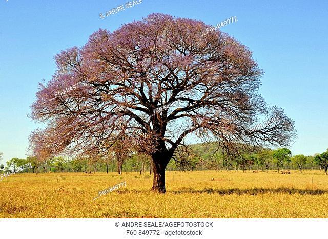 Pink trumpet tree, Tabebuia impetiginosa, Mato Grosso do Sul, Brazil