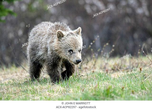 Grizzly bear cub in Banff National Park