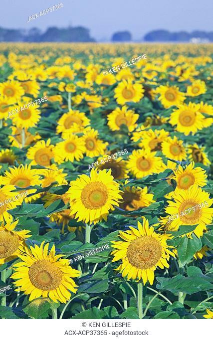 Field of Sunflowers, near Winnipeg, Manitoba, Canada