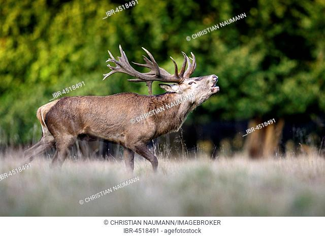 Red deer (Cervus elaphus), belling, rutting season, Denmark