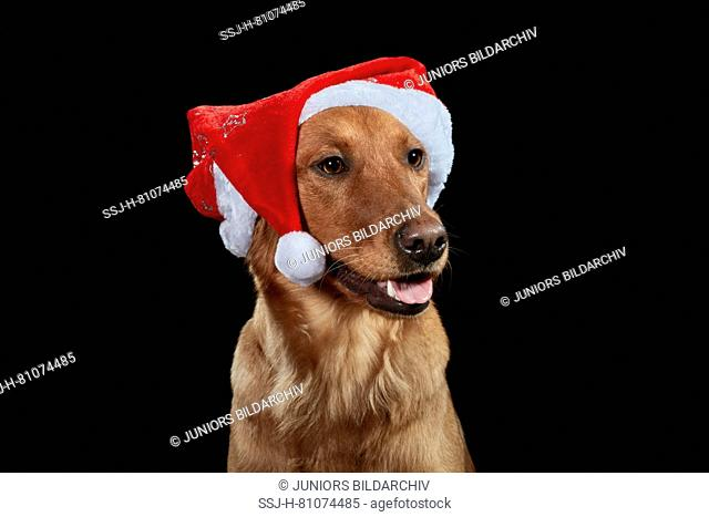 Golden Retriever. Portrait of adult dog against a black background, wearing Santa Claus hat. Germany