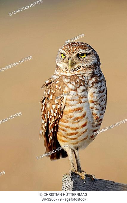 Burrowing Owl (Speotyto cunicularia, Athene cunicularia)