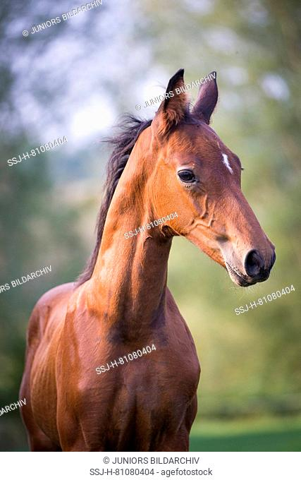 Mecklenburger Warmblood. Portrait of by foal. Germany