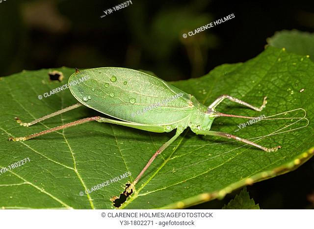 A Common True Katydid Pterophylla camellifolia perching on a low level deciduous leaf, West Harrison, Westchester County, New York, USA