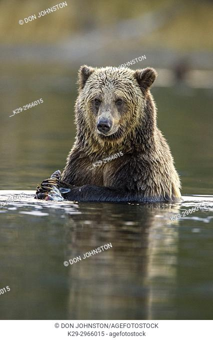 Grizzly bear (Ursus arctos)- Eating sockeye salmon in the Chilko River, Chilcotin Wilderness, BC Interior, Canada