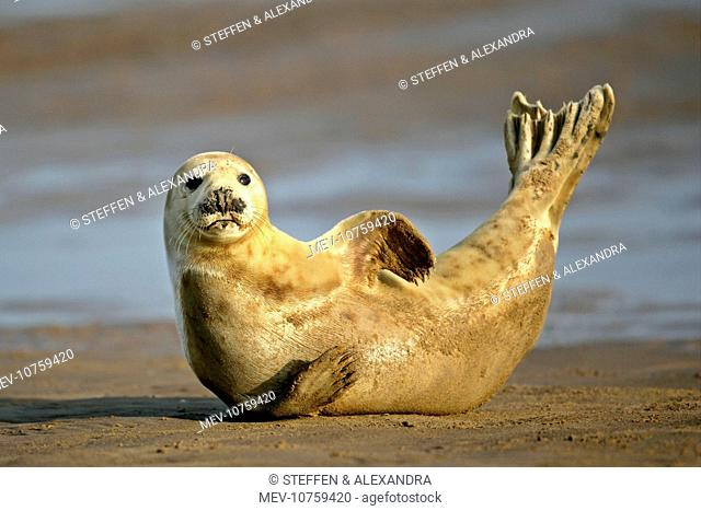 Grey Seal - resting on beach stretching it's body (Halichoerus grypus)
