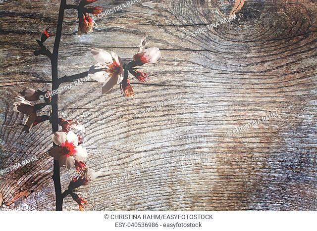 Almond spring flowers on patina wood surface, organic texture background copy space