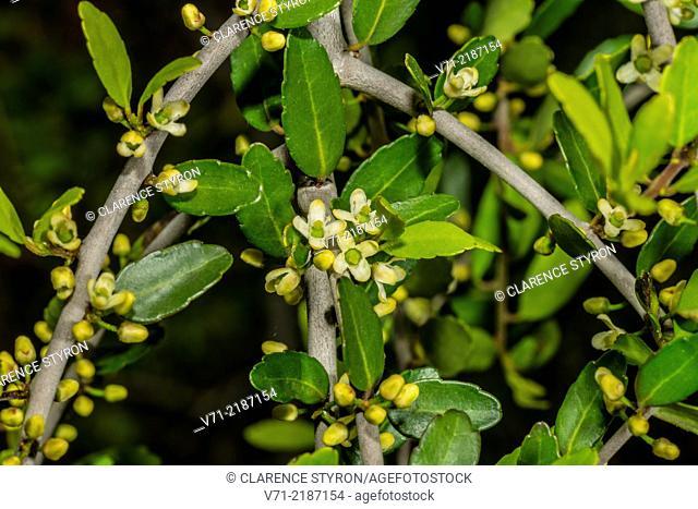 Yaupon (Ilex vomitoria) Weeping Cultivar