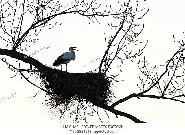 White Stork on nest, Ciconia ciconia, Hesse, Germany, Europe