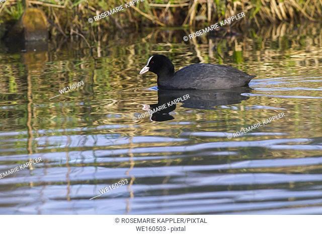 An eurasian coot is swiming on a pond