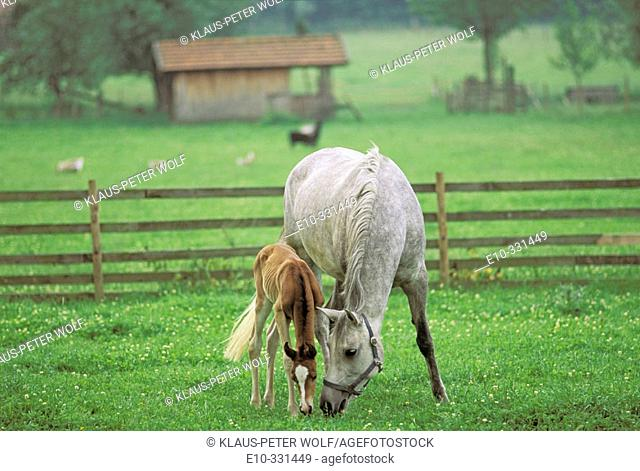 Arab Horse with 12 hours old foal