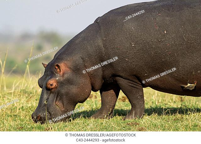 Hippopotamus (Hippopotamus amphibius) - Grazing at the bank of the Chobe River. With a Red-billed Oxpecker (Buphagus erythrorhynchus)