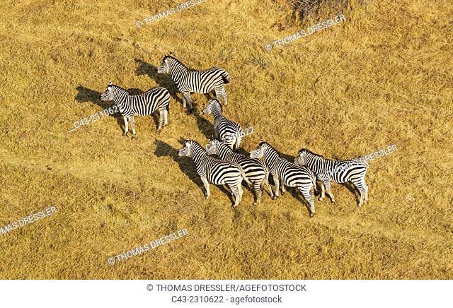 Burchell's Zebra (Equus quagga burchelli), aerial view, Okavango Delta, Moremi Game Reserve, Botswana