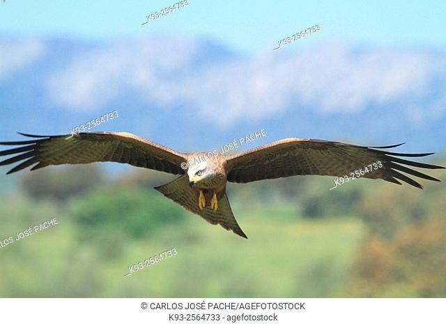 Red kite (Milvus milvus). Serra de Tramuntana. Mallorca, Balearic Islands, Spain