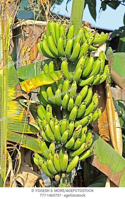 Green Banana, Banane, Musa X Paradisiaca L, Miao, Arunachal Pradesh, India