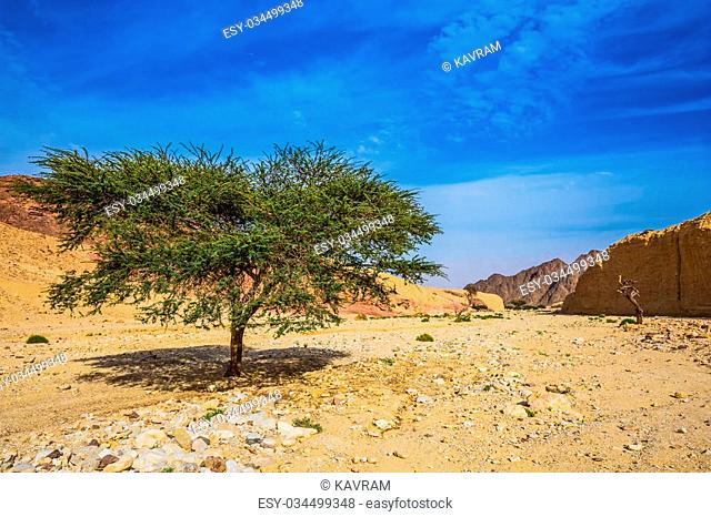 The stone desert in mountains of Eilat. Tree Desert Acacia tortilis in the Black Canyon