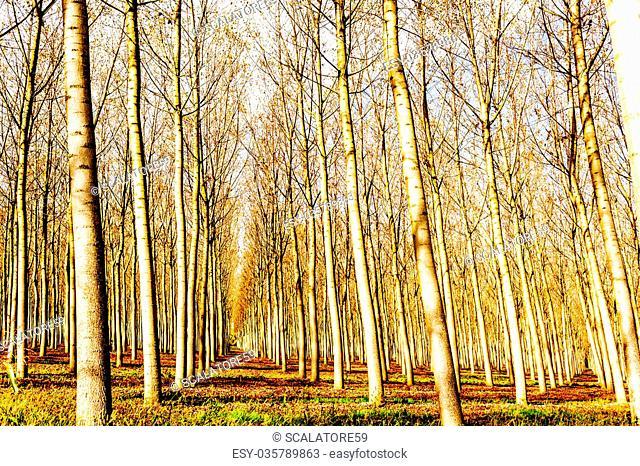 Poplar grove in autumn. Countryside scene