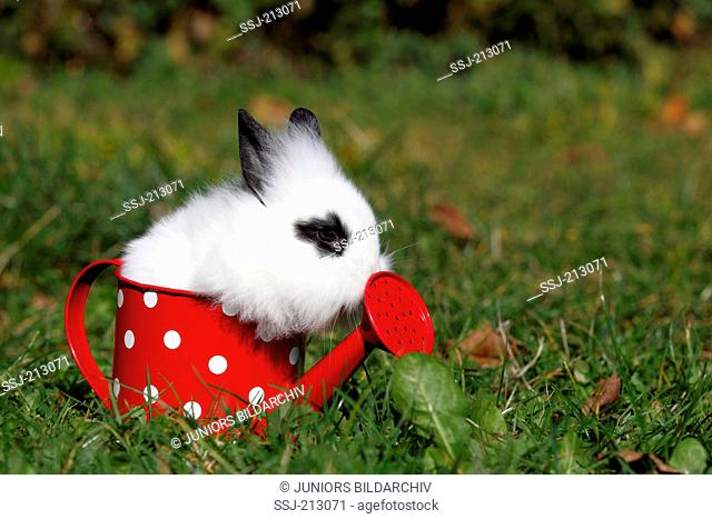 Lion-headed Dwarf rabbit. Young in a small red watering can with white polka dots on a meadow. Germany