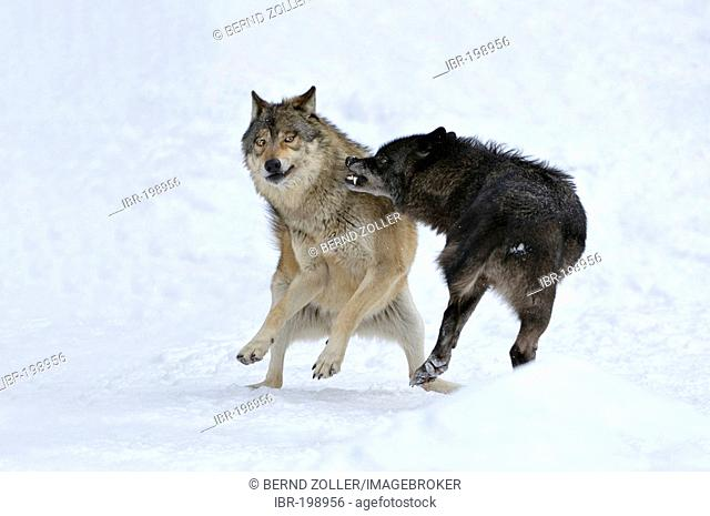 Eastern Timber Wolves, fighting (Canis lupus lycaon)