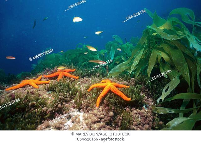 Starfish (Echinaster sepositus) and kelps. Galicia, Spain