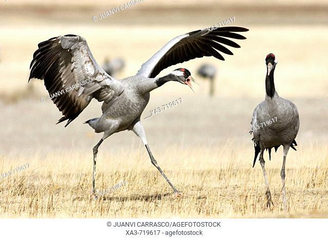 Common Cranes (Grus grus) fighting. Gallocanta, Zaragoza province, Aragon, Spain