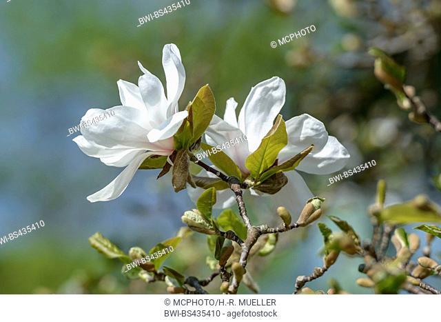 magnolia (Magnolia x loebneri Merrill, Magnolia x loebneri Merrill), cultivar Merrill