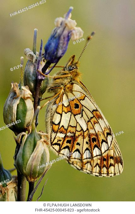 Small Pearl-bordered Fritillary Boloria selene adult, roosting on Bluebell Hyacinthoides non-scripta seedhead in ancient woodland, Alun Valley