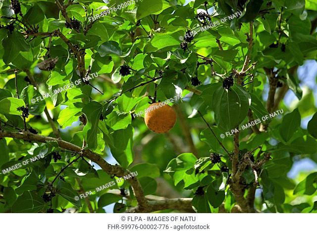 Strychnine Tree Strychnos nux-vomica leaves and fruit, Mysore, Karnataka, India