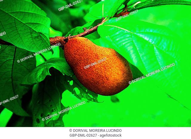 Amazon Fruit, Cupuaçú, Manaus, Amazonas, Brazil
