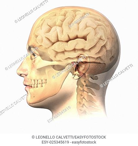Male human head with skull and brain in ghost effect, side view. Anatomy image, on white background, with clipping path